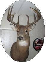 taxidermist Deer mount